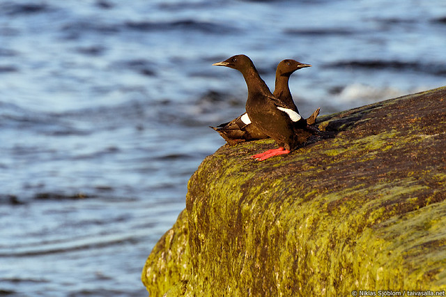 Black guillemot on Märket
