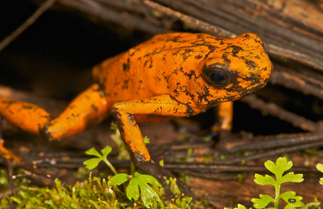 Histrionic poison arrow frog (Oophaga sylvaticus) (2)