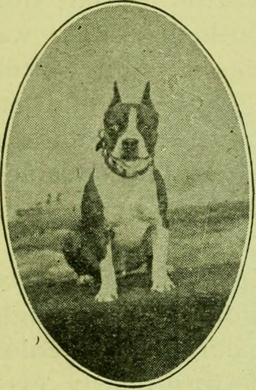 Image From Page 12 Of The Boston Terrier Its History Po Flickr