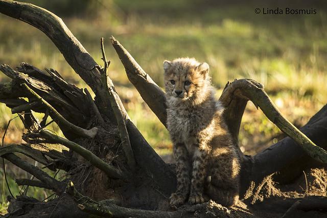 1 of 6 cheeta cub's