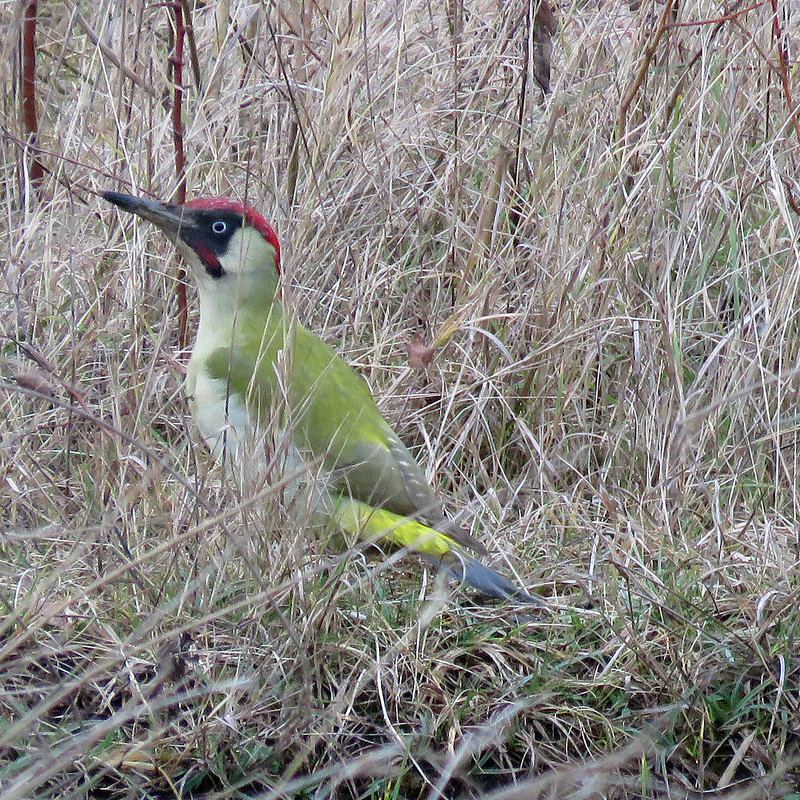 Green Woodpecker - Picus viridis