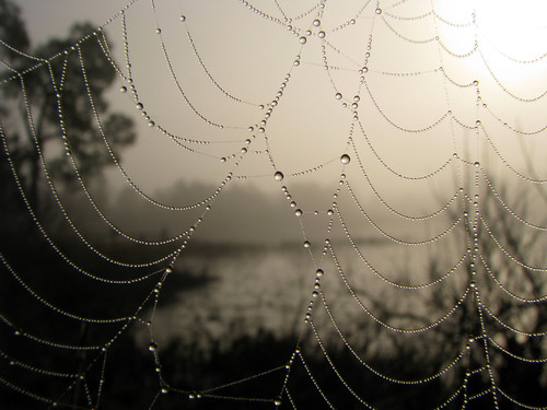 morning mist nature monochrome misty fog sunrise insect spider dewdrops florida spiders web arachnid foggy monochromatic pearls dew raindrops webs