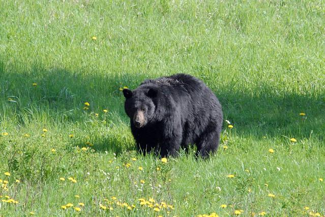 American Black Bear (Ursus americanus) DDZ_0027