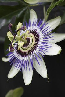 Passion Fruit Flower | by phil wood photo