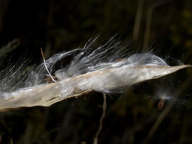 Matagós - Matacán (Cynanchum acutum)