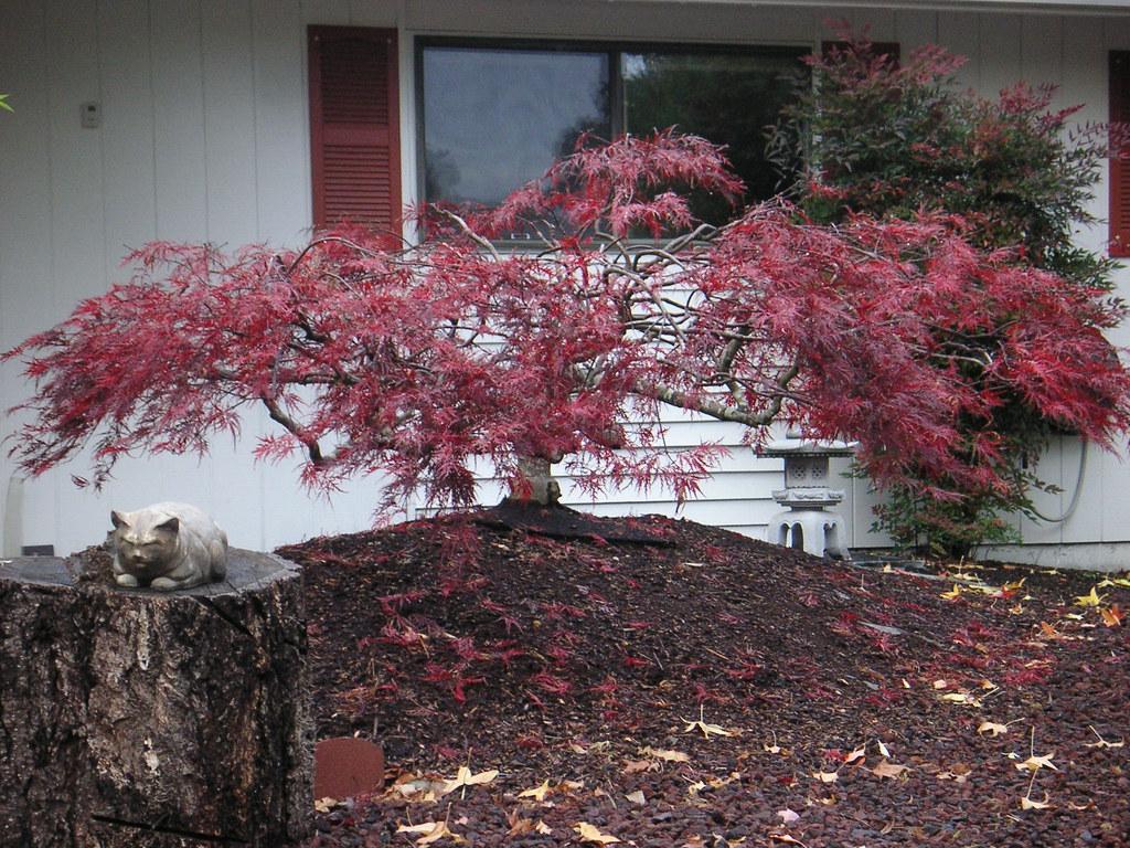 Red Filigree Lace Maple Acer Palmatum Dissectum Red Fil Flickr