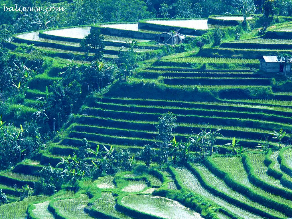 Jatiluwih: Rice Terraces | On the way back from Mount Batuka
