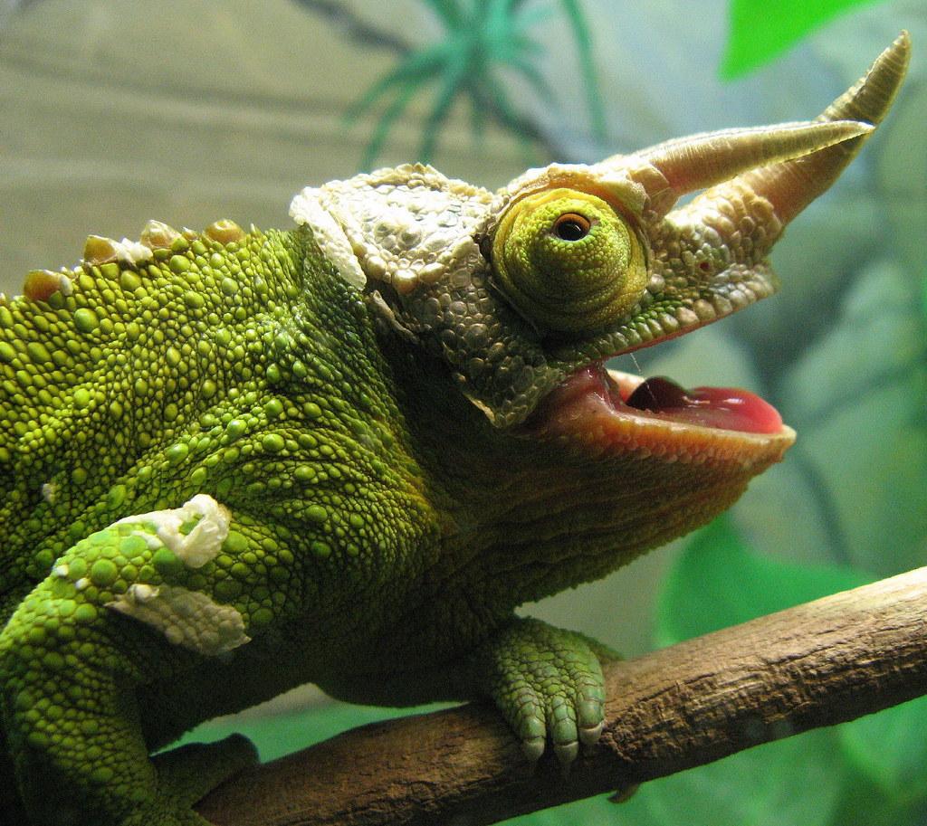 Chameleon Horns: Horned Chameleon Lizard In The Taronga