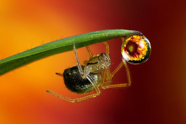 Flower dewdrop refraction #4 with spider