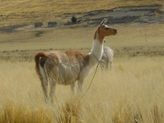 Llama near Pucará
