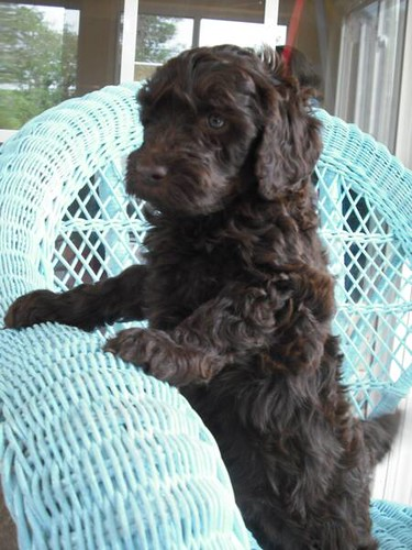Chocolate Mini Labradoodle | A Chocolate Labradoodle from ww