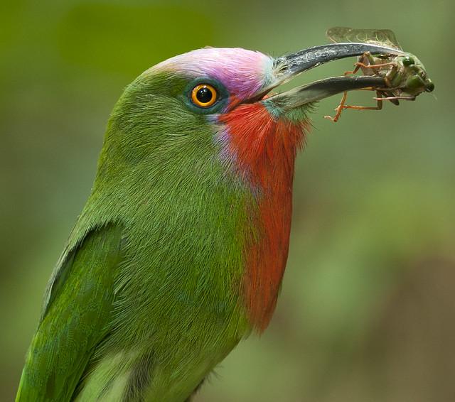 จาบคาเคราแดง Red-bearded Bee-eater (male) - Nyctyornis amictus with cicada Cryptotympana aquila (female)
