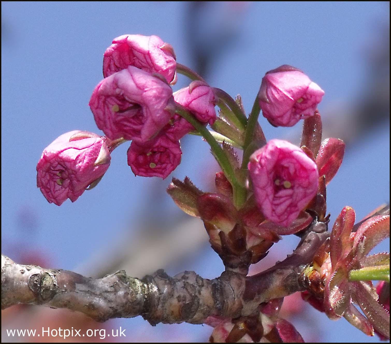 cherry,blossom,sakura,tree,knutsford,rd,road,grappenhall,cheshire,england,UK,purple,pink,red,nature,flowers,hotpixuk,hotpix,tonysmith,tony,smith