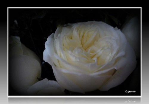 Rosa blanca, dominando la oscuridad.... P1060276