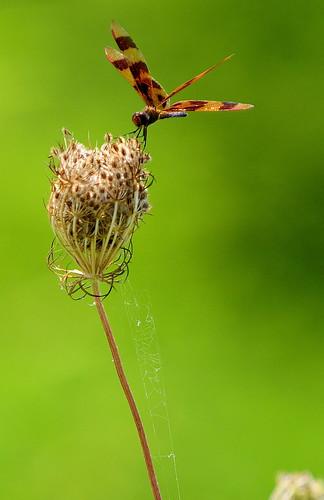 nikon d300 insectsandspiders impressedbeauty 70200mmvrnikkor augustabuschmemorialconservationarea singraylbwarmingpolarizer ©copyright