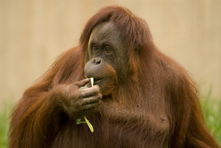 Orang Utan | by Jason Pier in DC