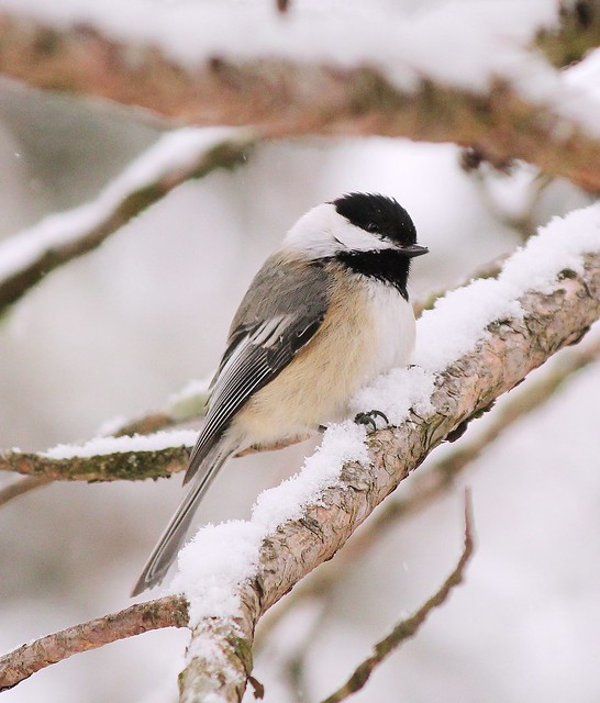 MAP0095 Chickadee in Snow