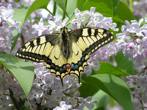 swallowtail on lilac
