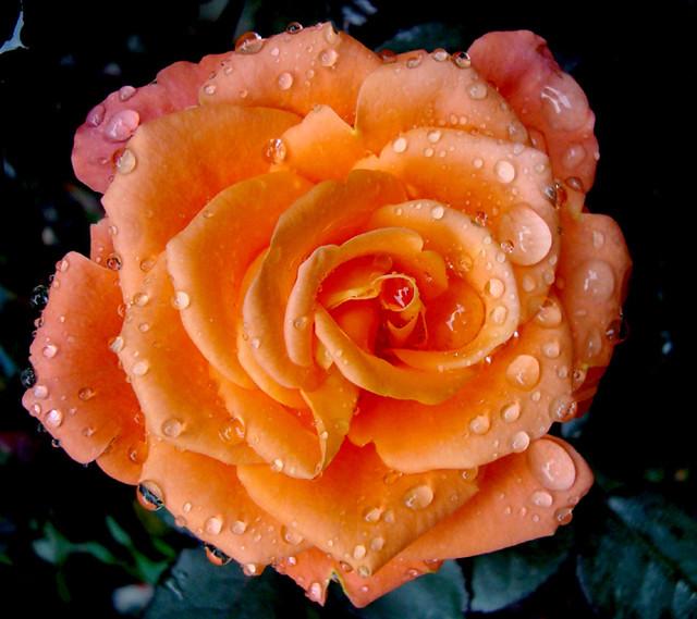 Rosas e mel