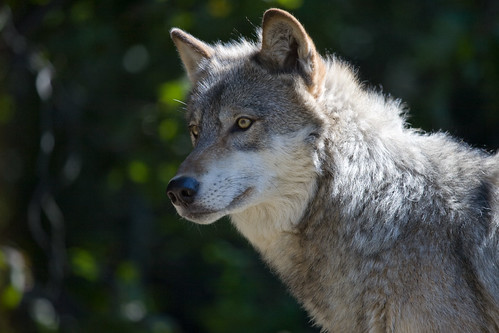Gray Wolf II | by dalliedee