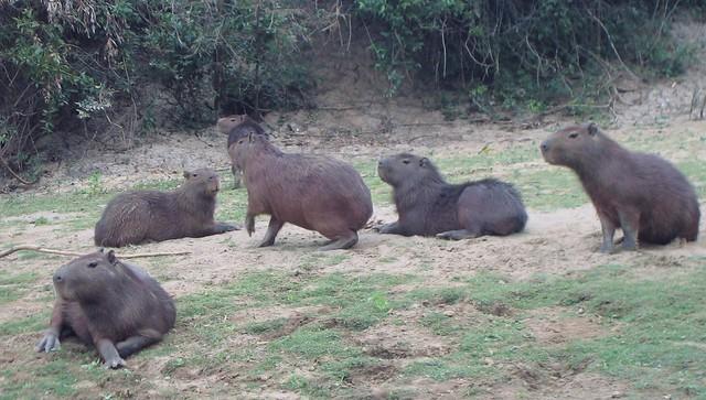 capibara...