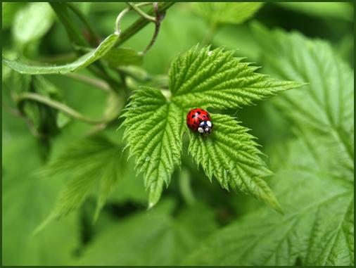 Marienkäfer - ladybug
