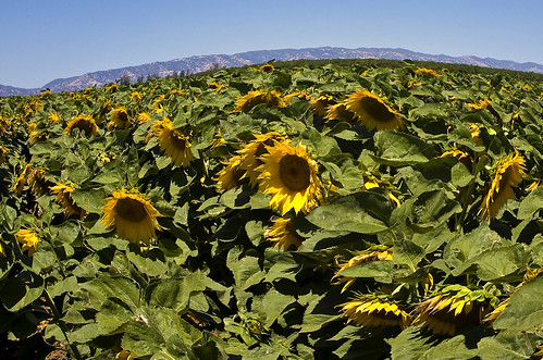 county sun flower field leaves sunshine canon landscape photo petals sunny dixon photograph sunflower rocket davis bullwinkle yolo 40d 2880mml familygetty