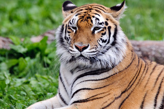 Tiger   by Eric Kilby