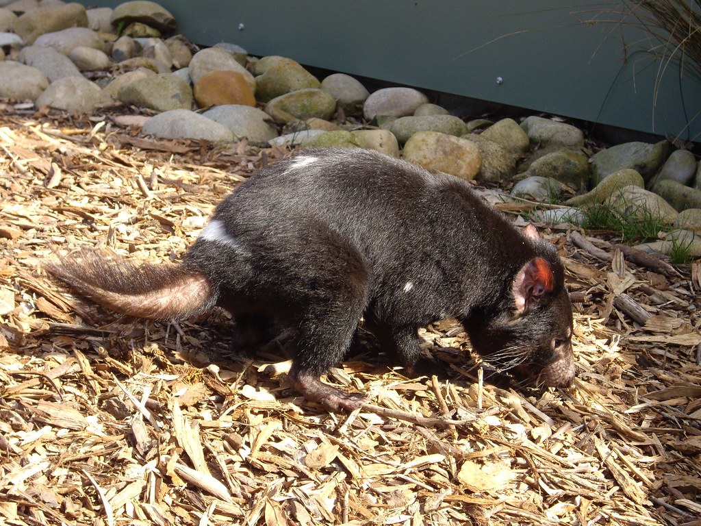 Tasmanian Devil   Tasmanian Devils feed on carcasses and ...