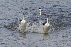 Western Grebes - Dancing, a Mating Ritual
