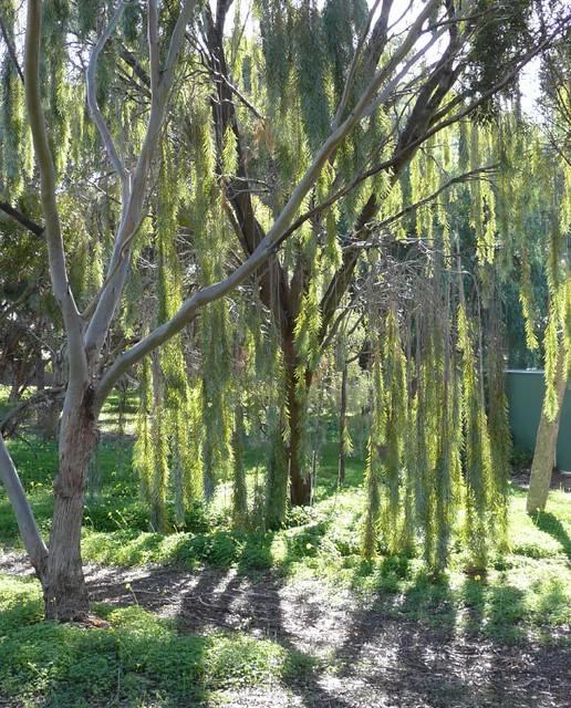 Acacia Pendula Australian Weeping Willow Sun And Shadow Flickr