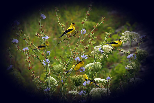 five goldfinch schaumburg palatine yellowfinch
