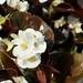 Japanese garden / white Begonia semperflorens