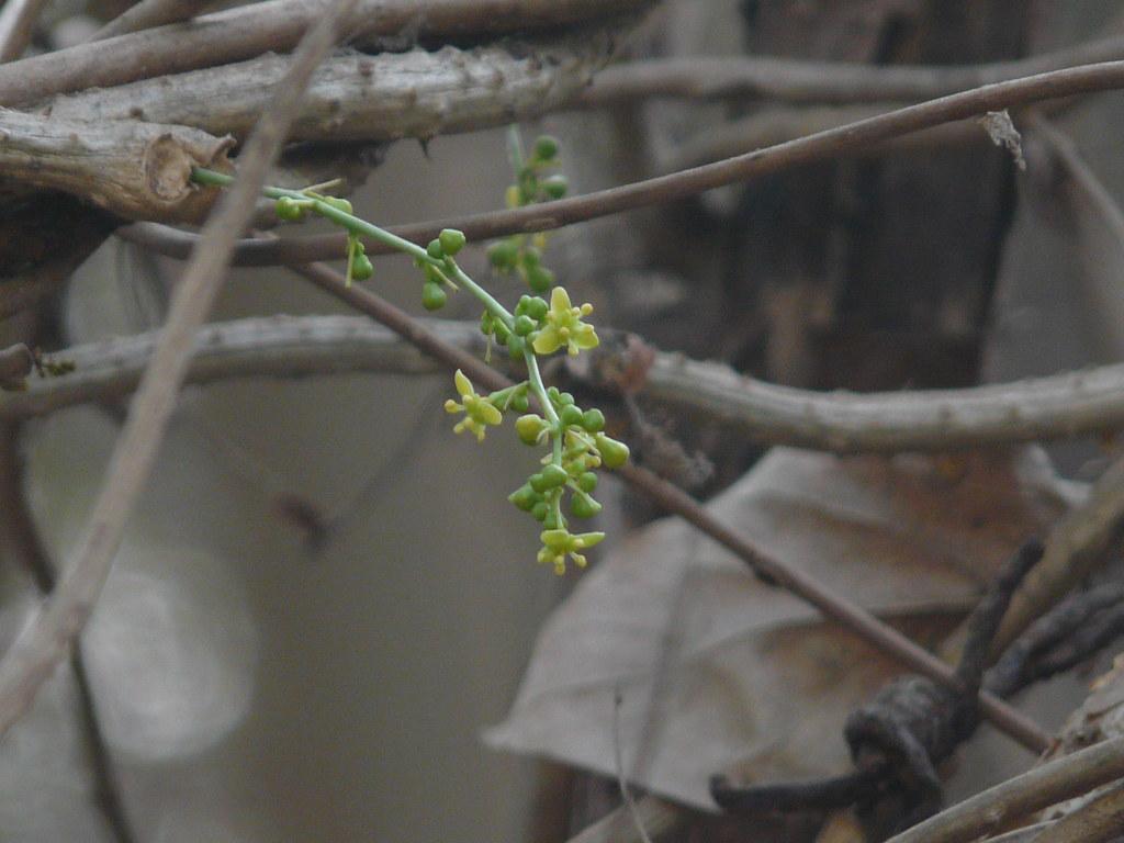 Gulancha (Bengali: গুলঞ্চ)   Menispermaceae (moonseed