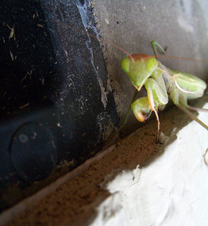 Green Mantis Head-On | by volkspider