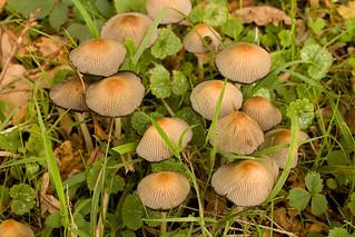 Fairy Parasol - Coprinus kuehnerii