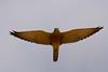 Greater Kestrel Falco rupicoloides by Peregrine's Bird Photography