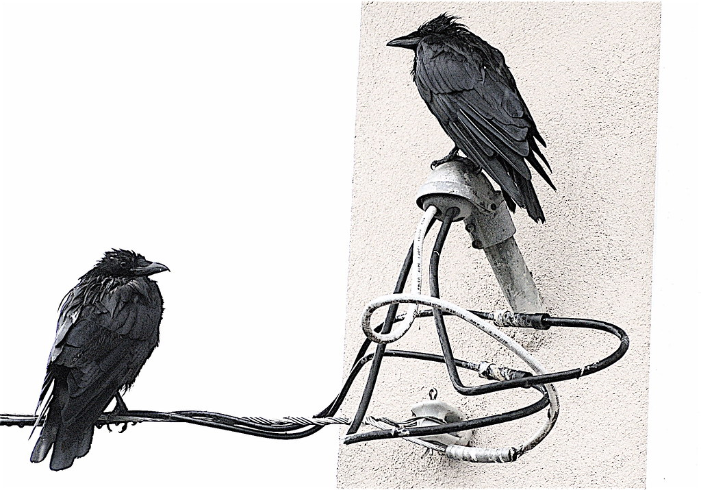A Whiter Shade of Pale - Wet Crows Study 1
