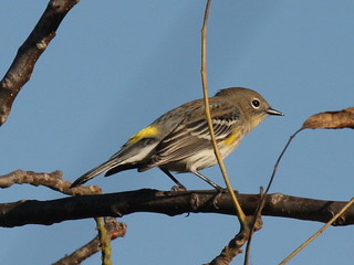 Yellow-rumped Warbler-IMG_2238-Sunnyvale WPCP-crop | by gimlack