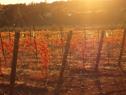 sunset orange sun nature wine farm vineyards grapes