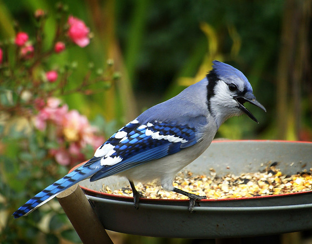 this bluejay is scolding me for something...........