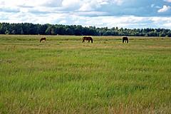 Vecdaugavas-plavas-zirgi-1sep07