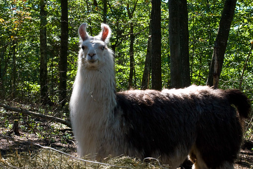 Humble Garden: misty the llama in the fall sun | by nikaboyce