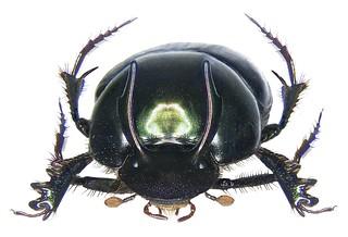 Onthophagus dama Fabricius, 1798 male