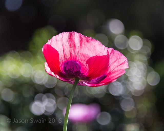 Poppy Bokeh - IMG_6022