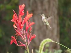 """""""Ruby-throated Hummingbird""""Trochilidae Archilochus colubris"""