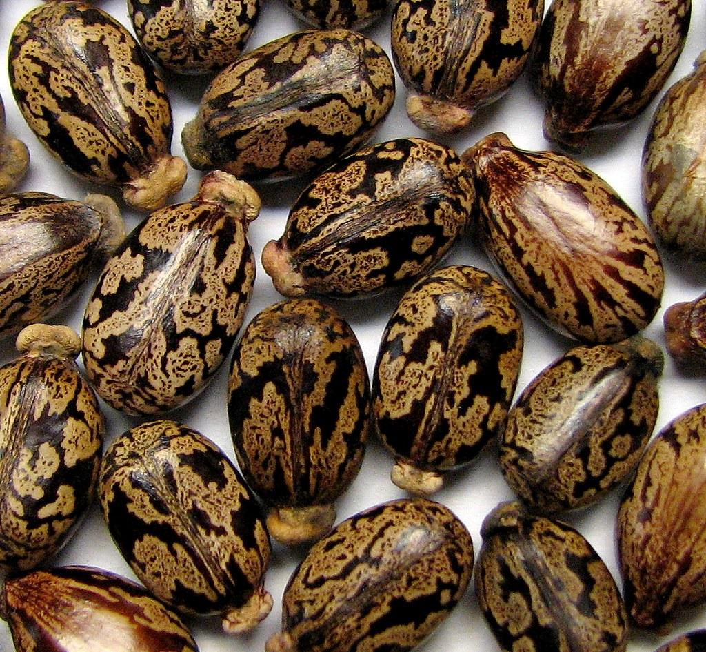 Castor Bean Seeds Ricinus Communis Each Seed Is Like A U Flickr