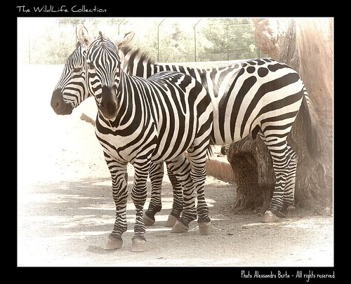 Zebra | by Alex_Berta