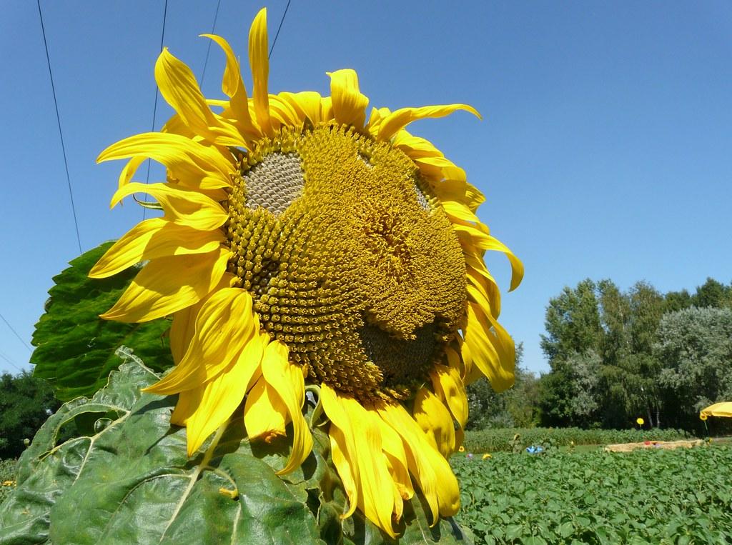 12173 Sonnenblumen | Sonnenblumen eine schöne als die