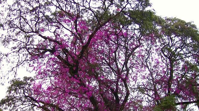 Blühender Baum oder Schmarotzer